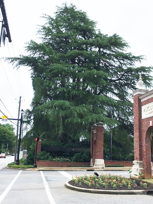 Huge tree at university entrance