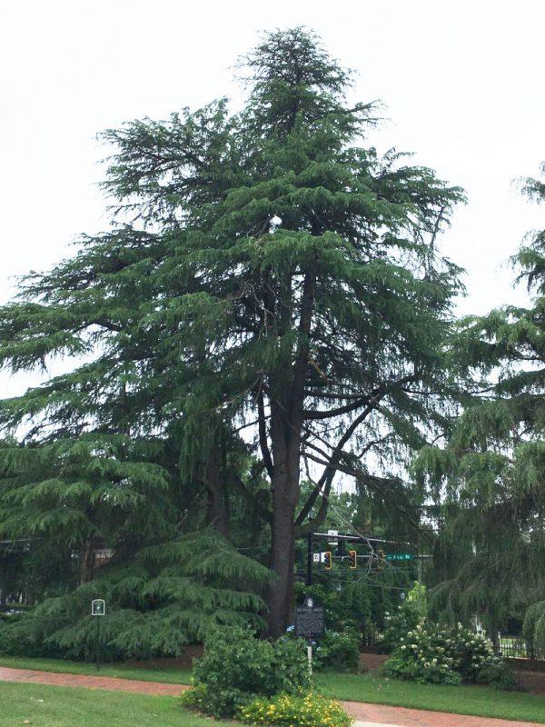 Tall cedar tree