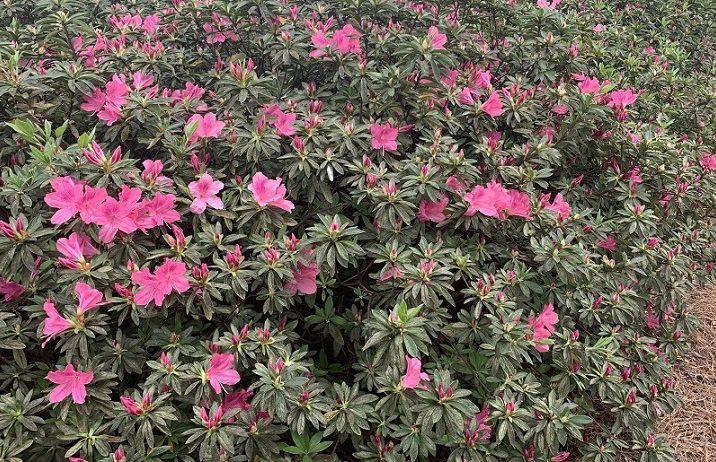 pink azalea bushes