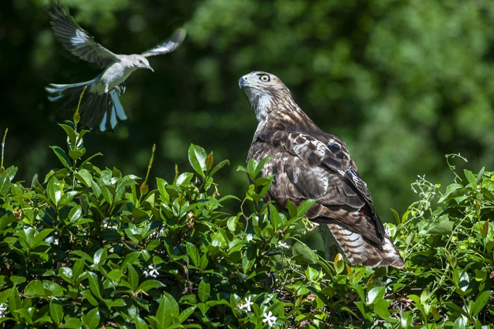 A hawk perched on a bush keeps watch on a menacing mocking bird that was trying to chase him away near the Walker Family Cemetery on the Summerville Campus Tuesday morning June 15, 2021.  6/15/21 10:01:36 AM  Photo by Michael Holahan/Augusta University  Job #